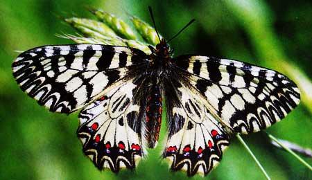 Zerynthia-polyxena-Poliksena