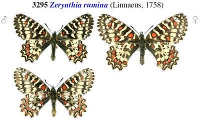 Zerynthia-rumina-Zerintiya-ispanskaya-(Zerintiya-Rumina)1.jpg