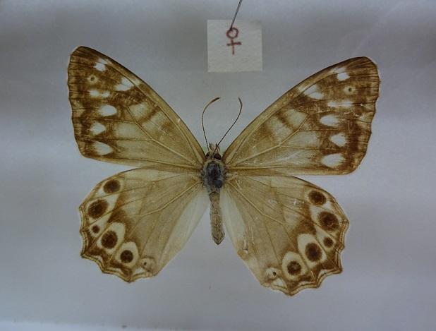 Zophoessa-callipteris-Butler-1877-Barhatnica-bambukovaya