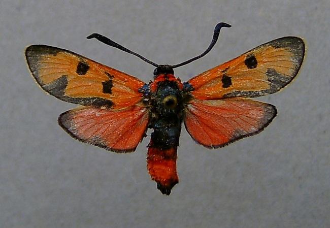 Zygaena-laeta-Pestryanka-leta