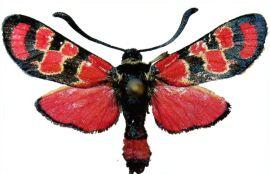 zygaena-carniolica-Pestryanka-glazchataya