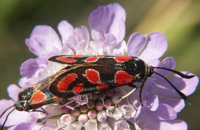 zygaena-carniolica-Pestryanka-glazchataya2.jpg